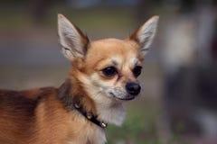 Cão adorável da chihuahua fora Fotos de Stock