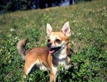 Cão adorável da chihuahua fora Imagem de Stock Royalty Free