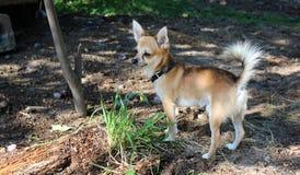Cão adorável da chihuahua fora Imagem de Stock