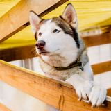 Cão adorável da raça do cão de puxar trenós siberian Imagens de Stock