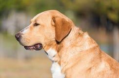 Cão adorável de Labrador no jardim fotografia de stock royalty free