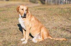 Cão adorável de Labrador no jardim imagens de stock