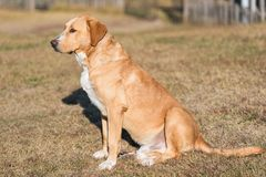 Cão adorável de Labrador no jardim imagens de stock royalty free