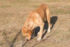 Cão adorável de Labrador no jardim foto de stock royalty free