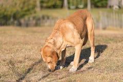 Cão adorável de Labrador no jardim fotografia de stock