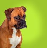 Cão adorável do pugilista no perfil imagem de stock