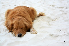 Cão adormecido Fotos de Stock Royalty Free