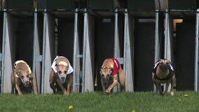Cão, adultos que estão na caixa e corredor do cão de corrida durante a raça vídeos de arquivo