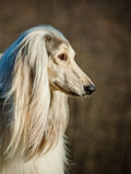 Cão afegão Fotos de Stock Royalty Free