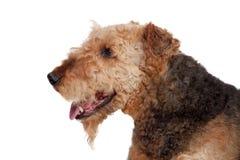 Cão agradável da raça do terrier do airedale Foto de Stock