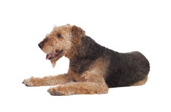 Cão agradável da raça do terrier do airedale Fotografia de Stock