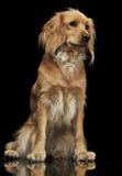 Cão agradável no fundo escuro Imagem de Stock