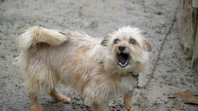 Cão agressivo pequeno irritado do descascamento fora video estoque