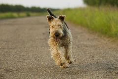 Cão airedale Foto de Stock