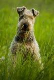 Cão airedale Fotos de Stock Royalty Free