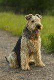 Cão airedale Imagem de Stock Royalty Free