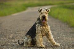 Cão airedale Fotografia de Stock Royalty Free