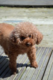 Cão alaranjado pequeno Fotos de Stock