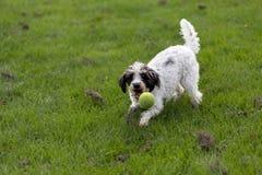 Cão alegre que joga com bola Imagem de Stock Royalty Free