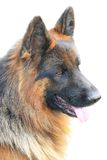 Cão alemão; Foto de Stock Royalty Free