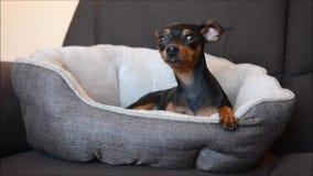 Cão alemão bonito do pinscher diminuto que relaxa em sua cama do cão em um sofá na sala de visitas video estoque