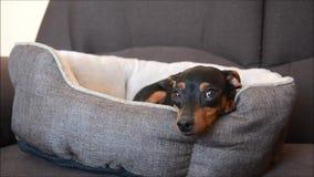 Cão alemão bonito do pinscher diminuto que relaxa em sua cama do cão em um sofá na sala de visitas filme