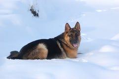 Cão alemão de Shepard Imagens de Stock