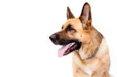 Cão alemão do shepard fotos de stock