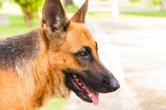 Cão alemão na caminhada no parque Pastor alemão no dia de verão quente ensolarado Fotos de Stock