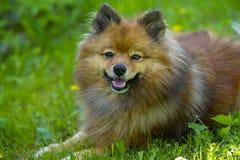 Cão alemão pequeno do Spitz no gramado do verão imagem de stock