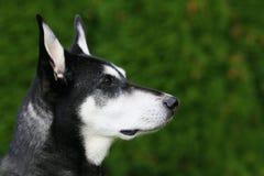 Cão alerta imagem de stock royalty free