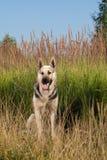 Cão Alsatian Foto de Stock Royalty Free