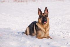Cão Alsatian no lago congelado Imagem de Stock