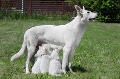 Cão amamentando com filhotes de cachorro Imagem de Stock