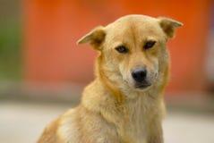 Cão amarelo Imagens de Stock