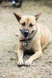 Cão amarelo Imagens de Stock Royalty Free