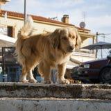 Cão amarelo bonito Imagens de Stock Royalty Free