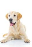 Cão amarelo da ânsia labrador retriever imagem de stock
