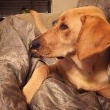 Cão amarelo da menina do laboratório Fotos de Stock Royalty Free