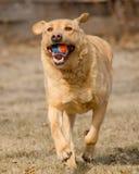 Cão amarelo de Labrador que joga o esforço Fotografia de Stock Royalty Free