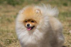 Cão amarelo Pomeranian, no crescimento completo, um pouco do lado fotografia de stock royalty free