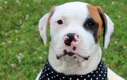 Cão americano adorável do touro Foto de Stock Royalty Free