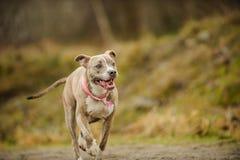 Cão americano do terrier do pitbull Foto de Stock Royalty Free