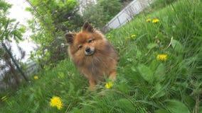 Cão amigável pequeno do Spitz no close-up da grama verde um Pomeranian vermelho com sua língua para fora video estoque