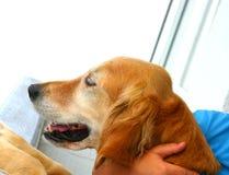 Cão, Amy curiosa Fotos de Stock Royalty Free