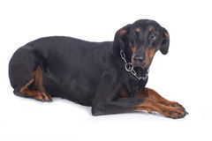 Cão ansioso do dobermann foto de stock