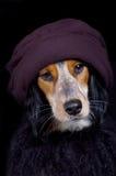 Cão arrogante da diva com chapéu & boa Foto de Stock