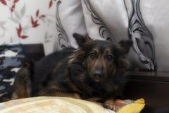 Cão assustado que encontra-se no sofá fotos de stock royalty free