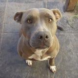 Cão Atena AirMax AM de Pitbull Fotografia de Stock Royalty Free