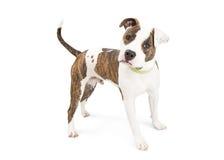 Cão atento de Staffordshire Terrier isolado no branco foto de stock royalty free